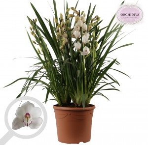 Cymbidium  WIT